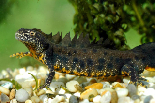 Male-Great-Crested-Newt---by-Fred-Holmes-ARC-Trust